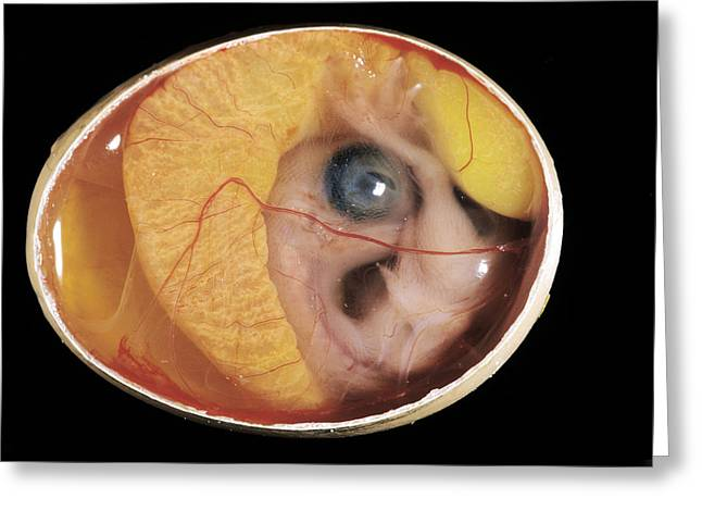 Chicken Embryo In Egg Greeting Card by Jean-Michel Labat