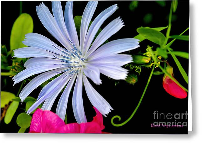 Greeting Card featuring the photograph Chicory And Sweet Pea by David Perry Lawrence