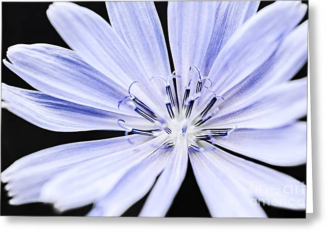 Chicory Flower Macro Greeting Card