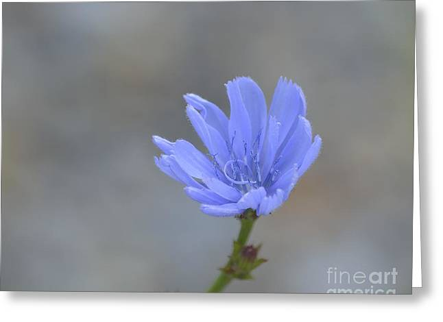 Chicory Greeting Card by Randy Bodkins