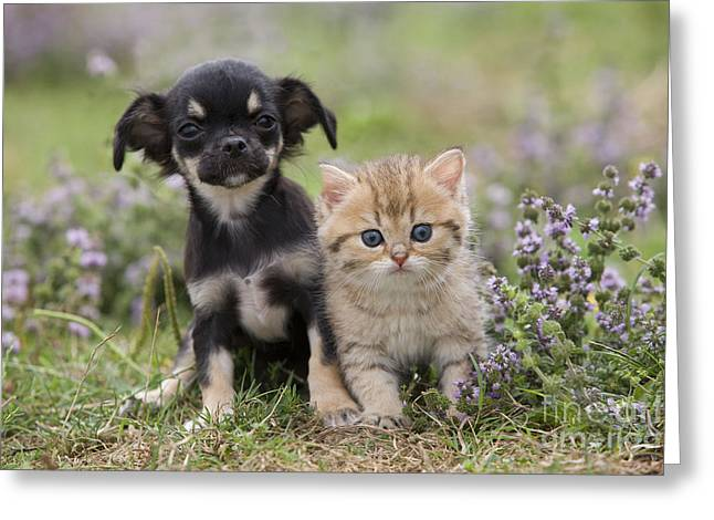 Chihuahua And Kitten Greeting Card by Jean-Michel Labat