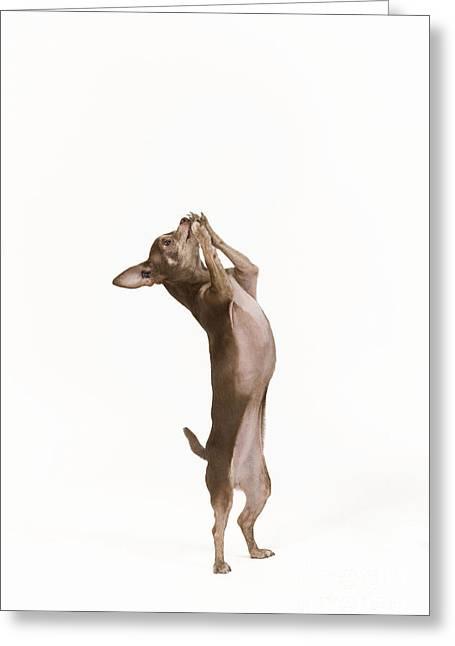 Chihuahua Dancing Greeting Card by Jean-Michel Labat