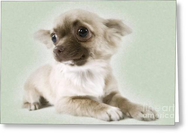 Chihuahua Dog Greeting Card by Jean-Michel Labat