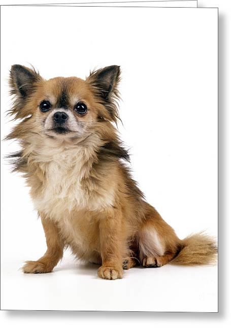 Chihuahua Dog, Sitting Greeting Card by John Daniels