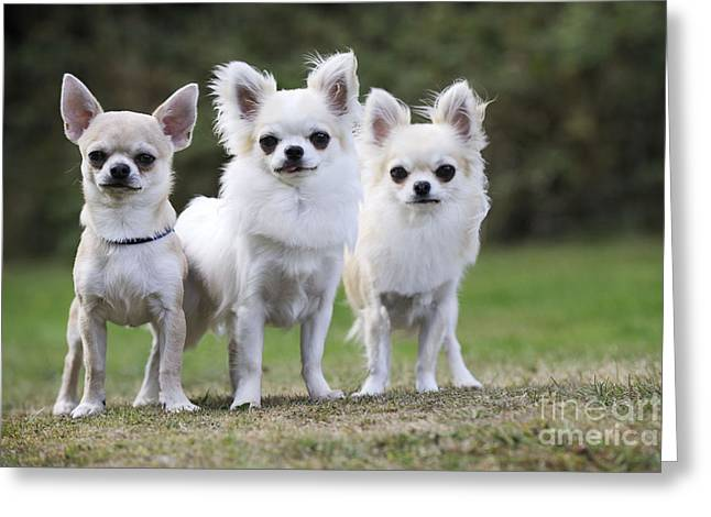 Chihuahua Dogs Greeting Card by John Daniels
