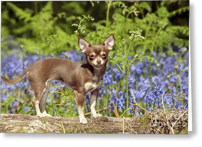 Chihuahua In Bluebells Greeting Card by John Daniels