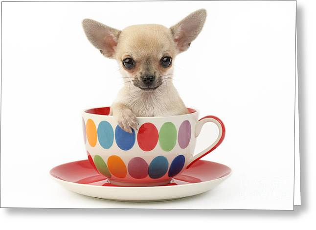 Chihuahua In Cup Dp684 Greeting Card by Greg Cuddiford