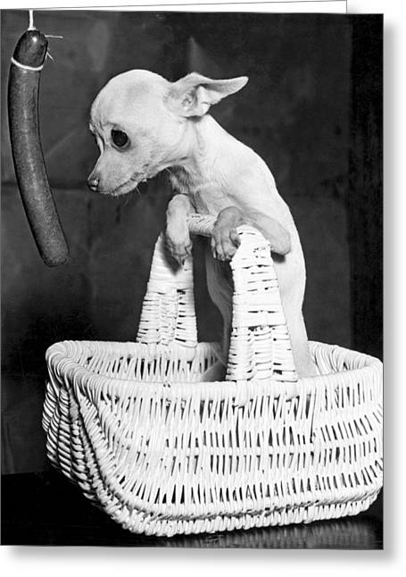 Chihuahua Longs For Sausage Greeting Card by Underwood Archives