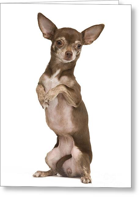 Chihuahua On Hind Legs Greeting Card by Jean-Michel Labat