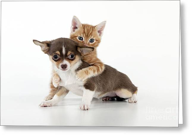 Chihuahua Puppy And Kitten Greeting Card by John Daniels