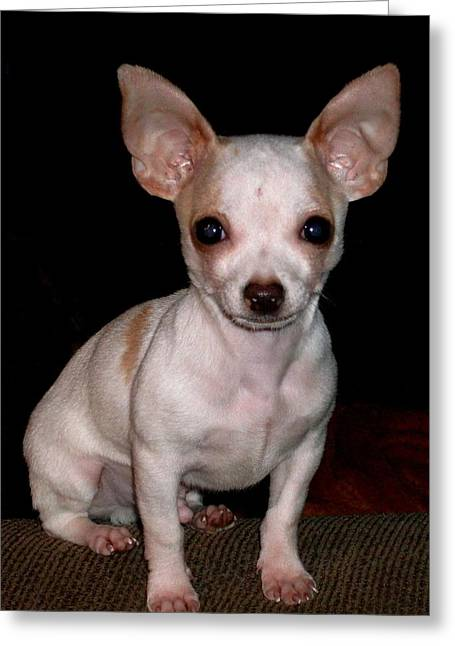 Greeting Card featuring the photograph Chihuahua Puppy by Maria Urso
