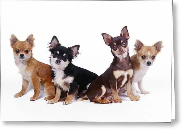 Chihuahuas Dogs Greeting Card by John Daniels