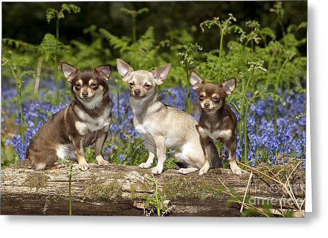 Chihuahuas In Bluebells Greeting Card by John Daniels