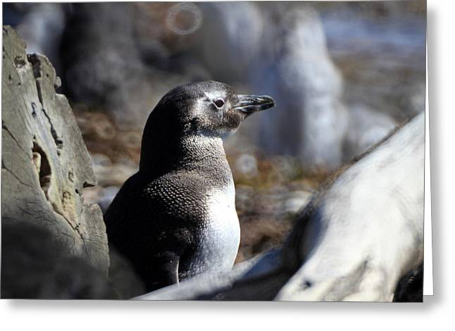 Chilean Penguin Greeting Card
