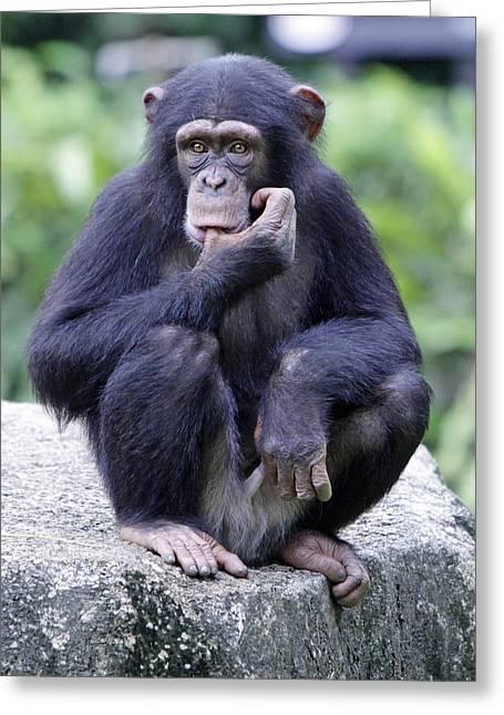 Chimp Sucking His Thumb Greeting Card by Shoal Hollingsworth