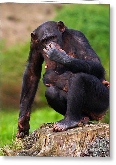 Chimp With A Baby On Her Belly  Greeting Card