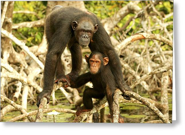 Chimpanzee Adult With Young Greeting Card