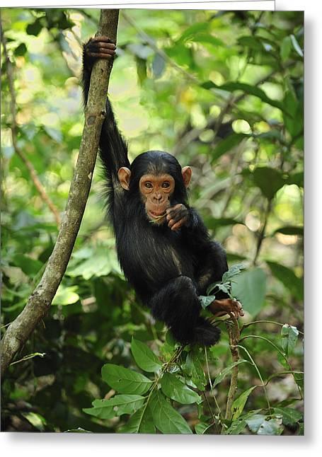 Chimpanzee Baby On Liana Gombe Stream Greeting Card