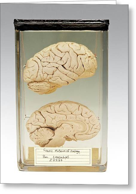 Chimpanzee Brain Greeting Card by Ucl, Grant Museum Of Zoology
