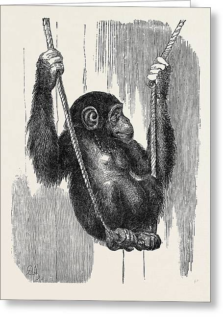 Chimpanzee, In The Gardens Of The Zoological Society Greeting Card by English School