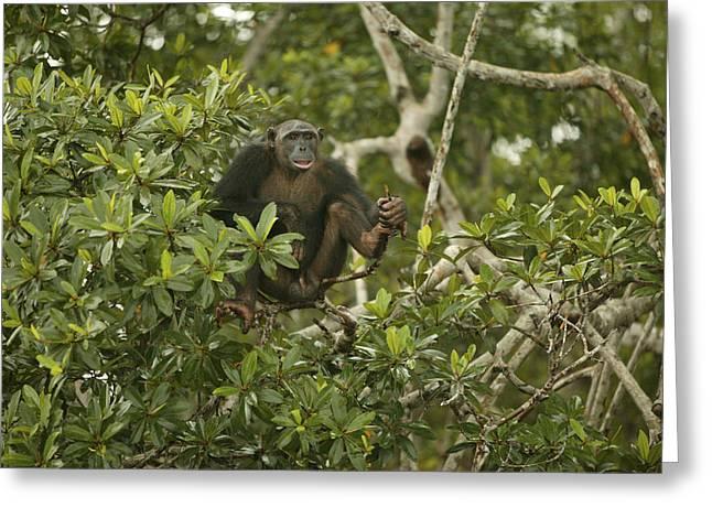 Chimpanzee In Tree Greeting Card