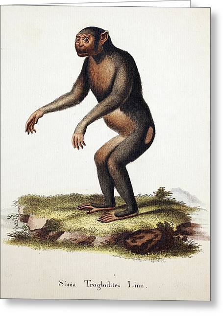 Chimpanzee (linnaeus) Greeting Card