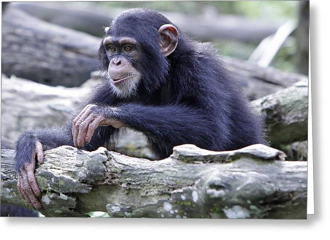 Chimpanzee Playing Greeting Card by Shoal Hollingsworth