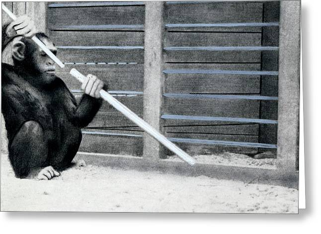 Chimpanzee Problem Solving Research Greeting Card