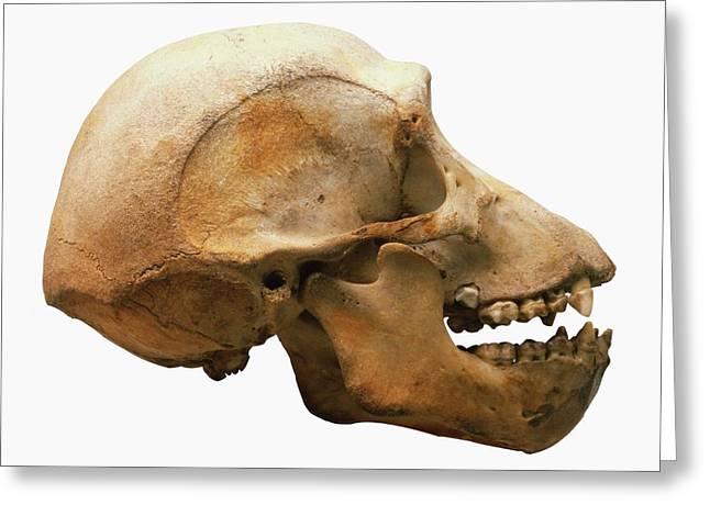 Chimpanzee Skull Greeting Card