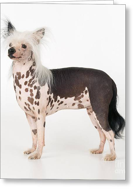 Chinese Crested Dog Greeting Card by John Daniels