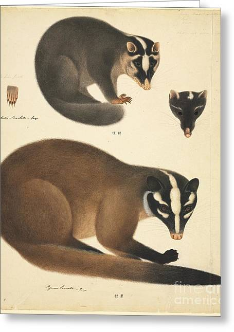 Chinese Ferret Badger, 19th Century Greeting Card