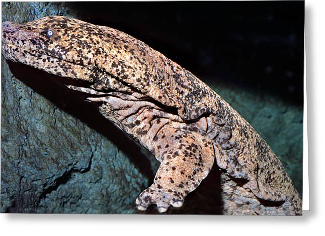 Chinese Giant Salamander Greeting Card by Wernher Krutein