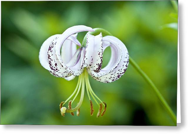Greeting Card featuring the photograph Chinese Lily by Lana Enderle