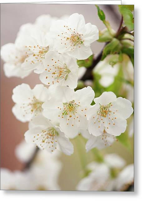 Chinese Pear Blossom (pyrus Pyrifolia) Greeting Card by Maria Mosolova