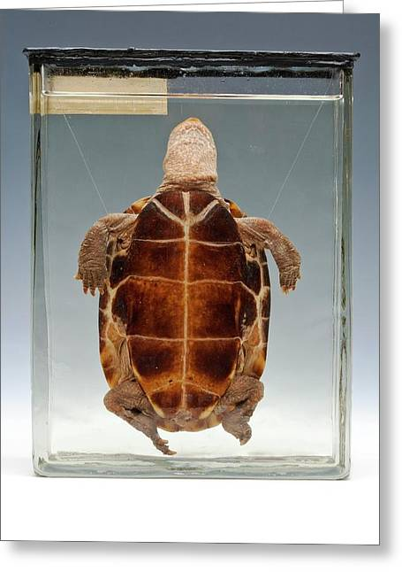 Chinese Pond Turtle Greeting Card by Ucl, Grant Museum Of Zoology