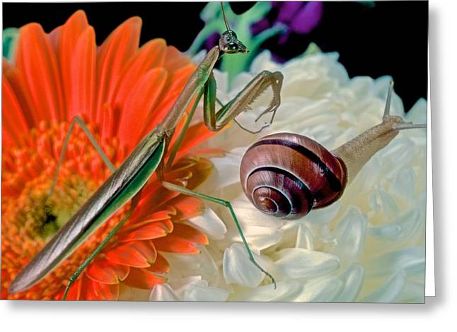 Chinese Praying Mantis Looking For Prey Greeting Card by Leslie Crotty
