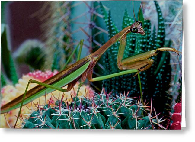 Chinese Praying Mantis Taking A Walk On A Cactus Plant Very Carefully Greeting Card by Leslie Crotty