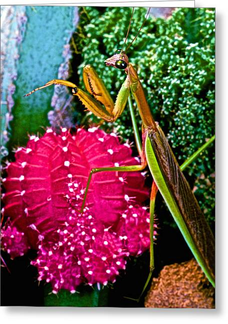 Chinese  Praying Mantis Walking Very Carefully On A Cactus Plant Greeting Card by Leslie Crotty