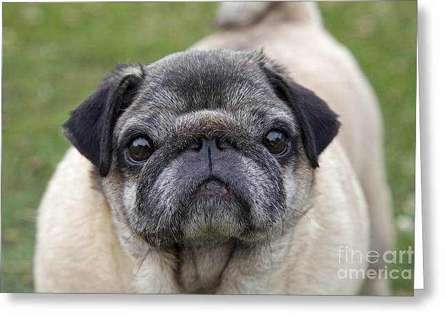 Chinese Pug Dog Greeting Card by Mark Boulton