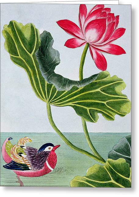 Chinese Red Water Lily Greeting Card by Pierre Joseph Buchoz
