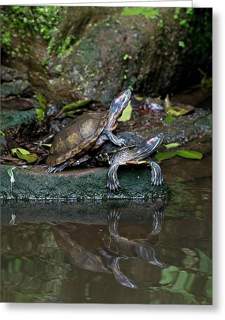Chinese Stripe-necked Turtles Greeting Card by Tony Camacho