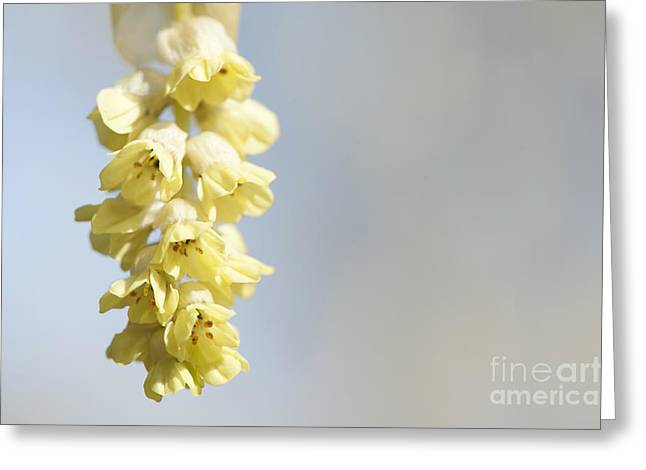 Chinese Winter Hazel Greeting Card by Anne Gilbert