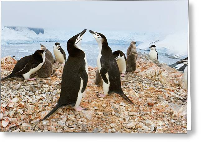 Chinstrap Penguin Colony Spigot Point Greeting Card