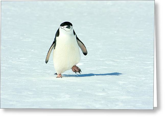 Chinstrap Penguin Running Greeting Card by Amanda Stadther
