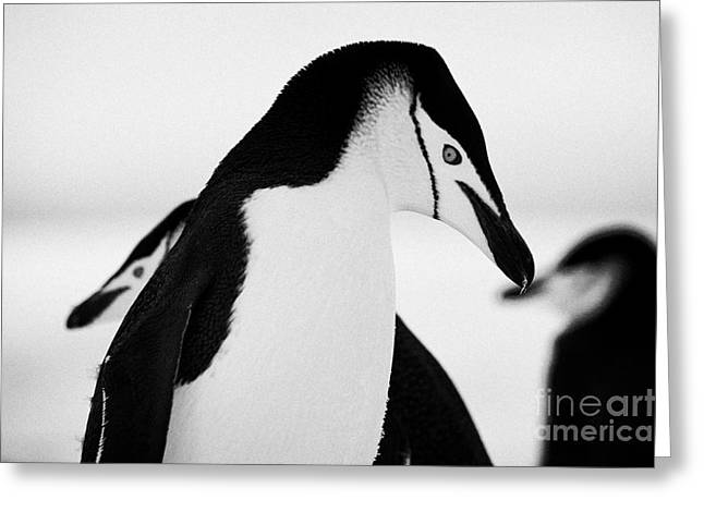 chinstrap penguins closeup with eye prominent on hannah point Antarctica Greeting Card by Joe Fox