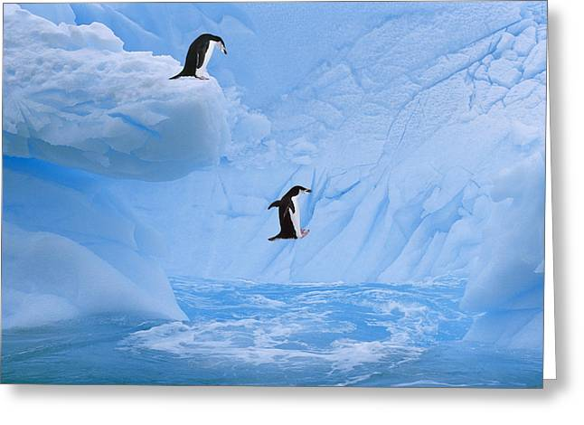 Chinstrap Penguins Jump Into Ocean From Greeting Card by Johnny Johnson