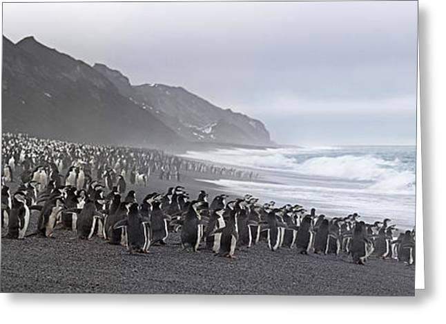 Chinstrap Penguins Marching To The Sea Greeting Card by Panoramic Images