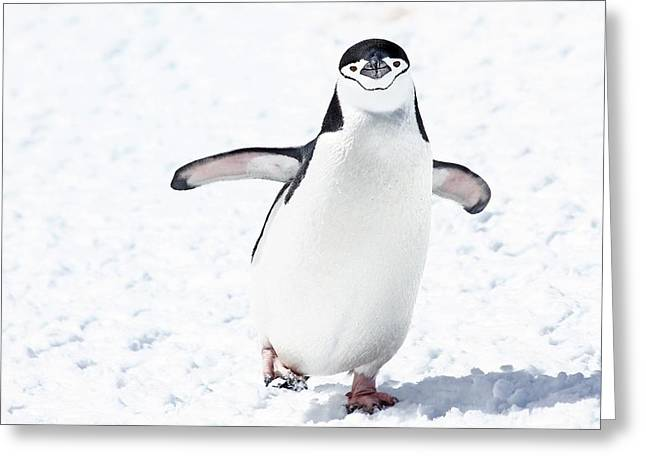 Chinstrap Penguins Pygoscelis Antarctica Greeting Card