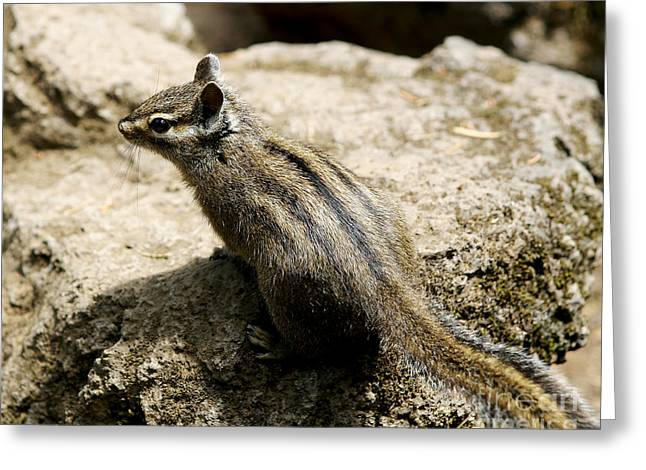 Greeting Card featuring the photograph Chipmunk On A Rock by Belinda Greb