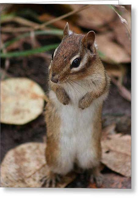 Greeting Card featuring the photograph Chipmunk by Paula Brown